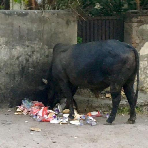 cow eating garbage in India