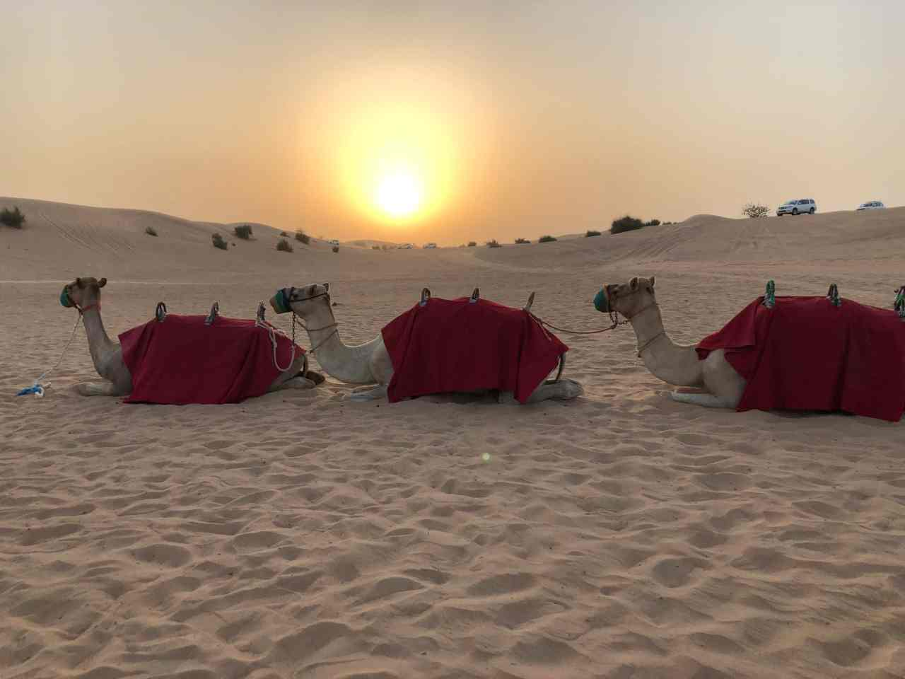 Camels at sunset in the Dubai desert