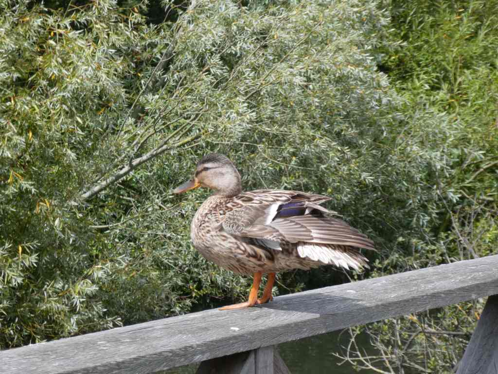 Duck at cardiff wetlands reserve