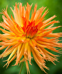 mels-orange-marmalade-dahlia