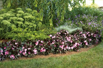 New guinea impatiens line a flower bed in a shady garden.
