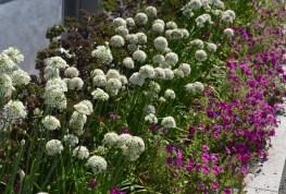 Kale in flower row.