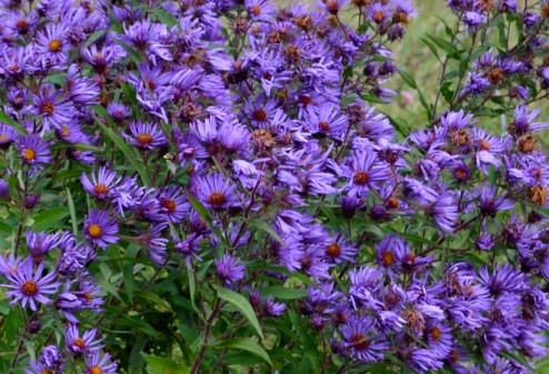 Aster in the wild