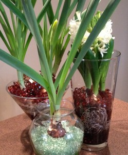 Different shaped glass vases are filled with beads and spring bulbs.
