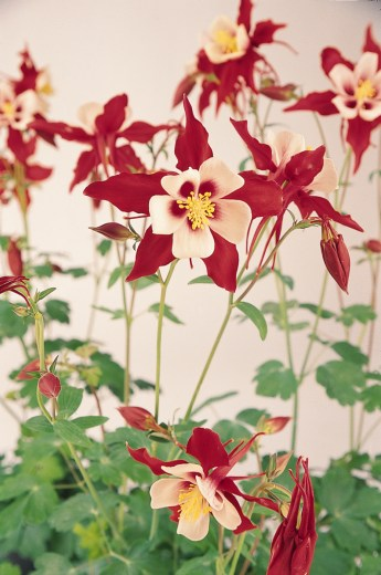 A group of red and white Aquilegias.