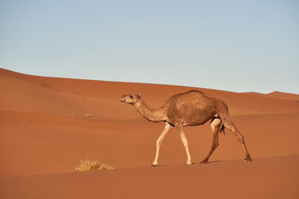 You drink like a camel!