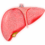 illustration of the human liver