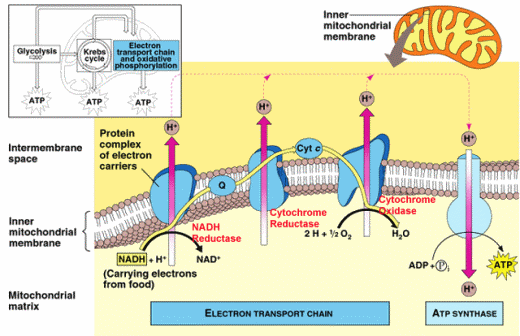 explain krebs cycle with diagram 1990 honda civic hatchback stereo wiring reflection 23: summary of the & electron transport chain | biochem insider