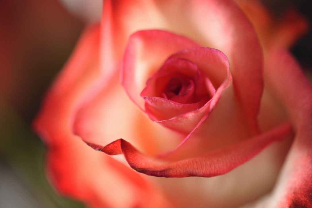 pink flowers macro photography