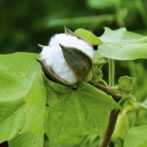 Cotone coltivato con metodo biologico