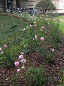 roses January2013