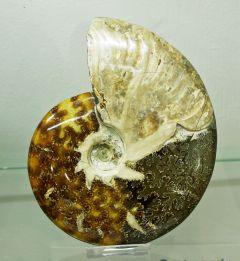 Ammonite 01