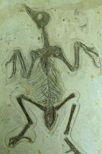 Chinese Bird Fossil