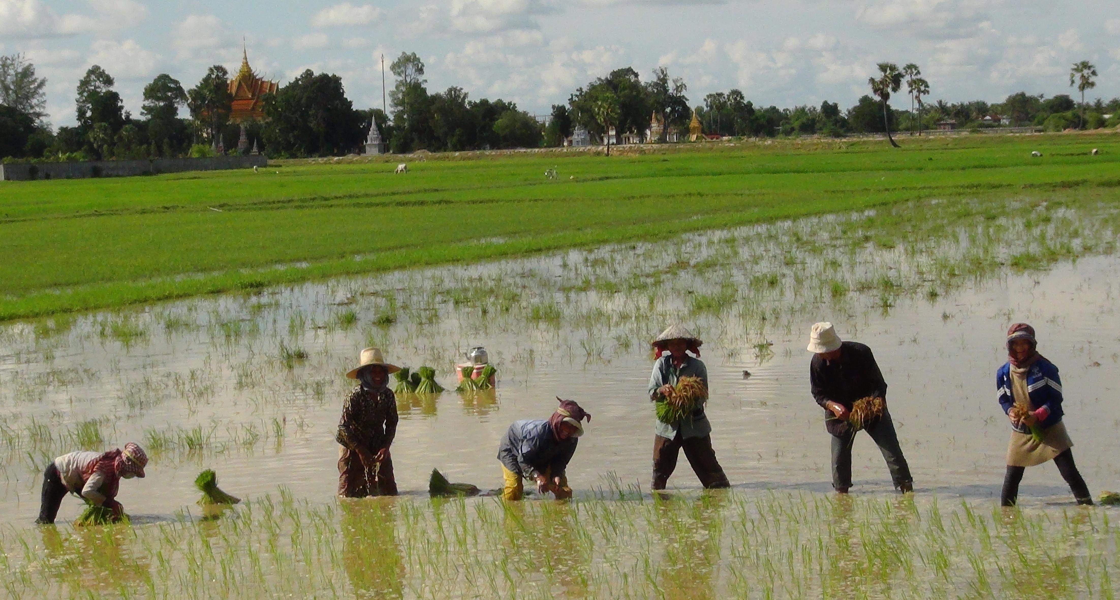 Transplanting rice in Cambodia