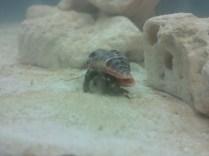 Jesse the crab