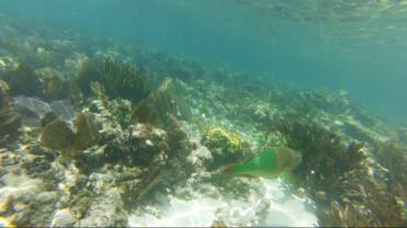 Another shot of a large rainbow parrotfish