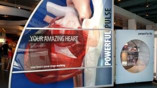 Your amazing heart