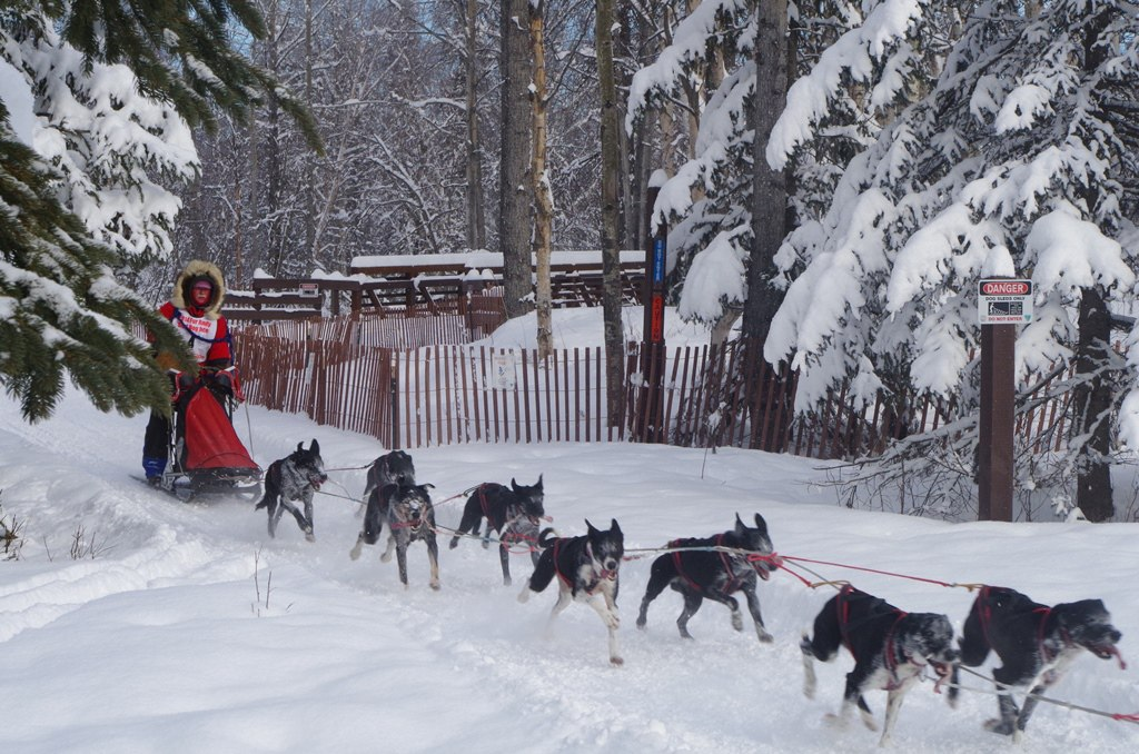 Anchorage Fur Rondy Sled Dog Races Postcards From The