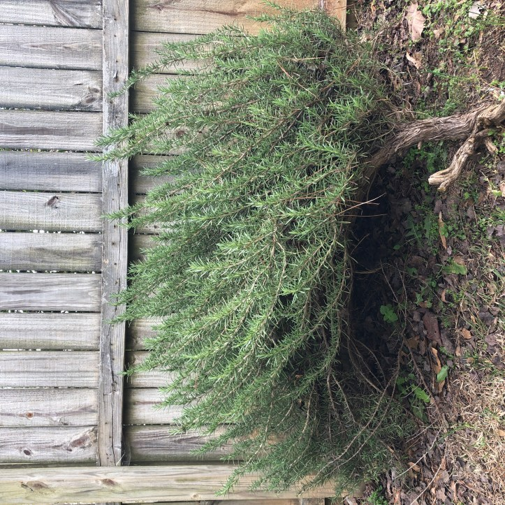 Rosemary Christmas Tree Home Depot.Updates On Mom And Lessons From A Rosemary Bush Rich Regular