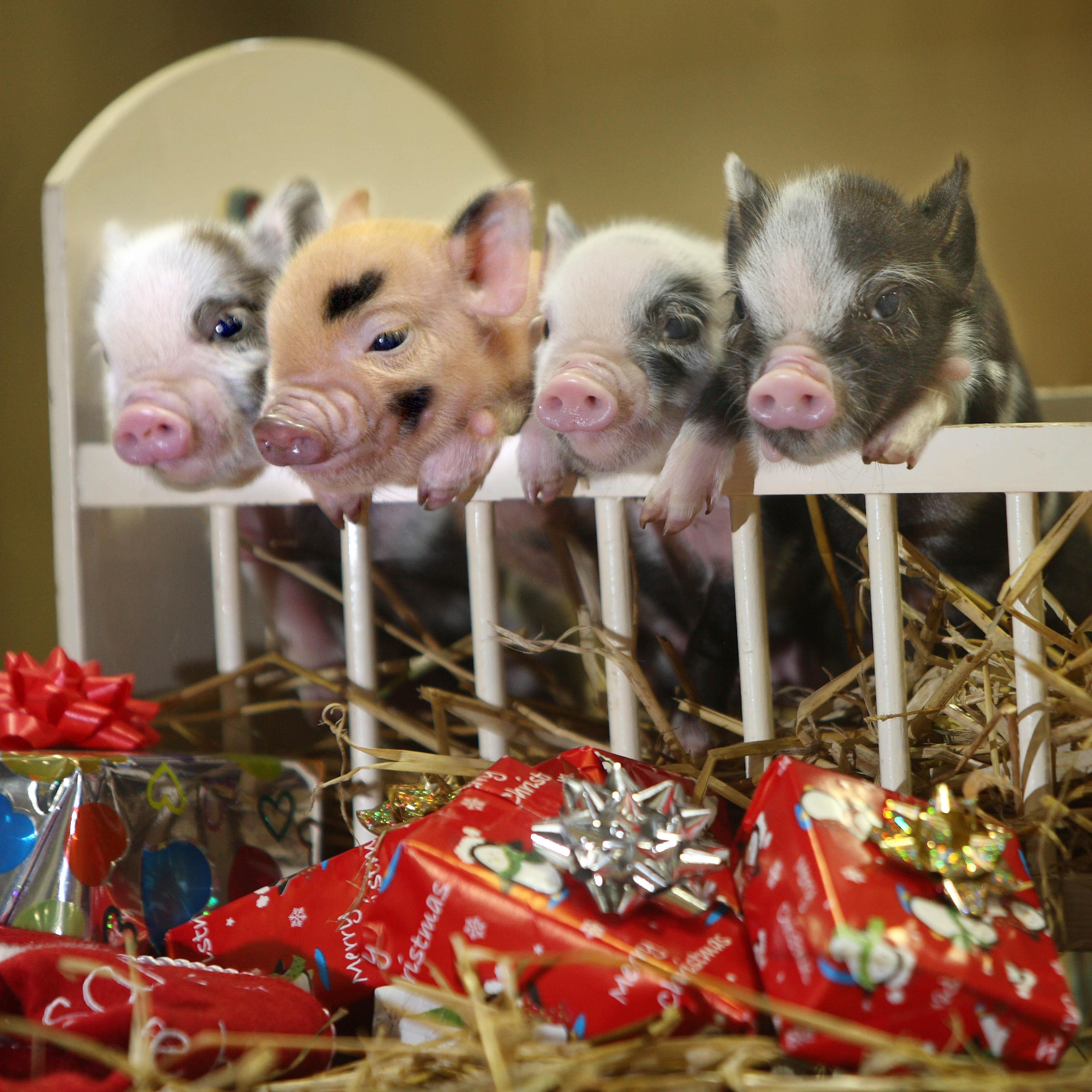 Cute Piglets Wallpaper Animals Love Christmas Richardaustinimages