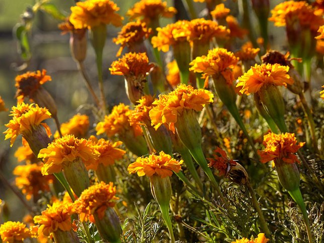 These are the marigolds I planted in the garden in April. This is their last chance to shine, as there is a hard freeze forecast for tonight.