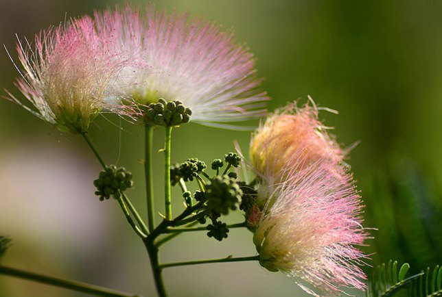 This mimosa behind the garden started blooming just this week. This image was made at f/2.8 at just about the closest focus distance on my AF-Nikkor 180mm.
