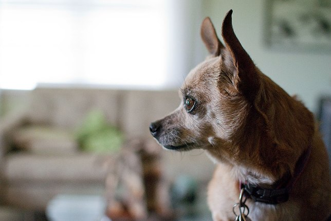 "One thing that ""feels"" artistic is using large maximum apertures to create powerful selective focus (often wrongly called ""bokeh"", which is another concept altogether), as I did in this image of Max the Chihuahua I shot yesterday with our AF-S Nikkor 35mm f/1.8. Pleasing to the eye, shallow depth of field is not art unto itself."
