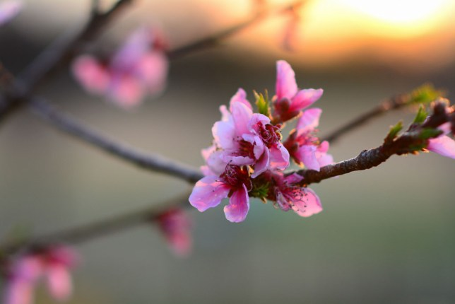 My peach blossoms take on a subtle beauty as the sun sets last night. This image took the AF-S 85mm f/1.8 to its limits: shot at f/2, this image was made right at the len's closest focus point. It is sharp, the colors are dazzling, and the background moves away as gracefully as Audrey Hepburn.