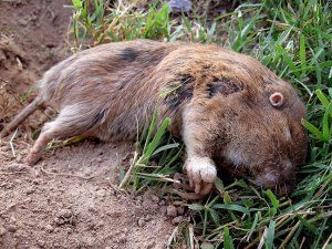 Dead pocket gopher, shot through the neck from about 25 feet