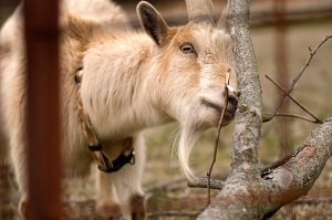 Buxton the Goat eats bark