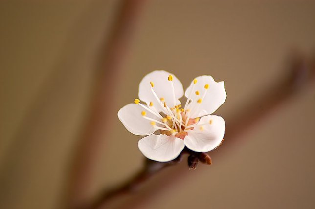 The first plum blossom of the season