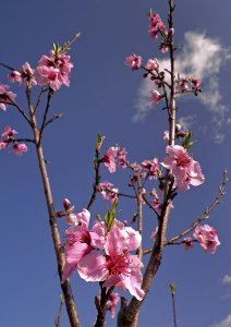 Peach blossoms from my orchard last month, the brightest, most optimistic image I had on hand to counteract this dark dream