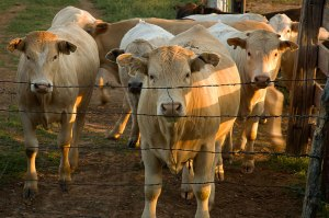 Steers gather around me as the evening draws to a close
