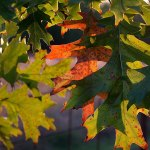 The Shumard Oak in our front yard has the first of its autumn color on it.