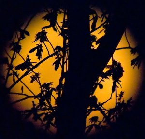 "One of our maple trees silhouetted against the ""supermoon"" from two nights ago."