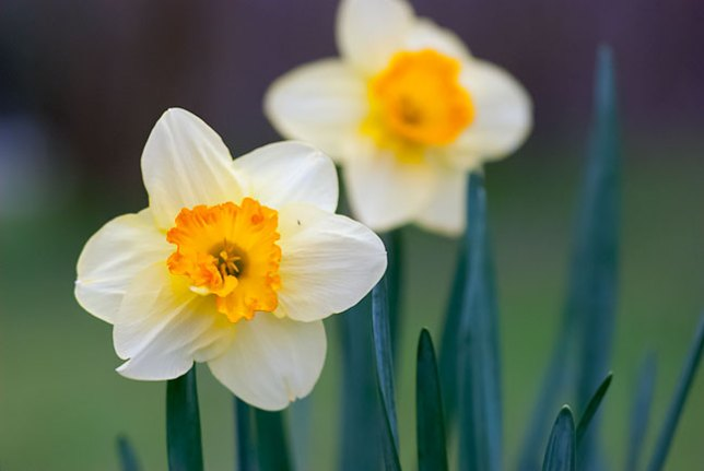 Dorothy's Daffodils caught my eye from 100 yards away. I didn't know until I looked it up today that they are the same flower as the Narcissus.
