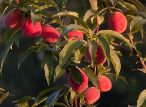 These small peaches on tree number two in my orchard are all ripening at once, about six weeks early.