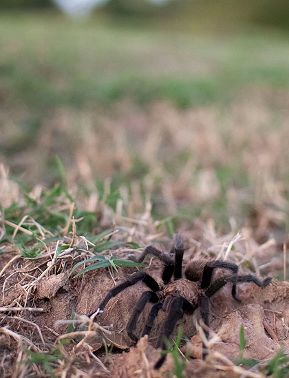 This desert tarantula was a guest in the north pasture tonight. Although it seemed to be aware of my presence, it did not assume any kind of threatening posture. I let it go about its business.