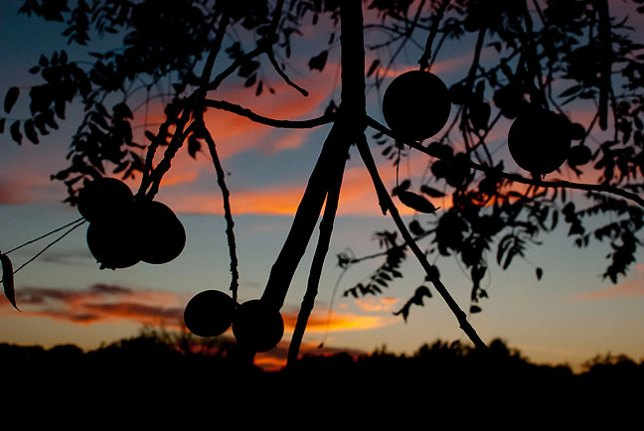 Heavy with hard, green fruit, our black walnut tree stands against a fiery sky tonight.