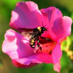 A bumblebee harvests pollen from a Rose-of-Sharon flower.