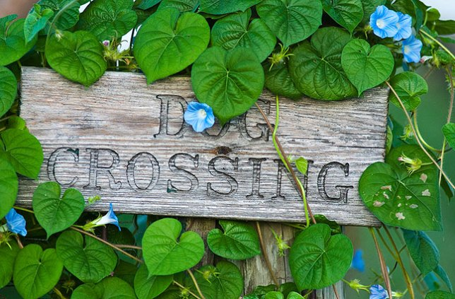 "Abby's ""dog crossing"" sign, which I photographed on July 10 with a single strand of morning glory vine on it, is now covered with vines and blossoms."