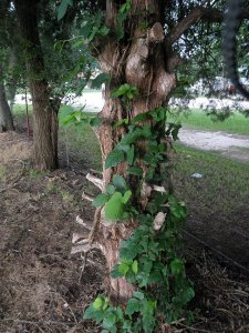 Facebook is like this poison ivy co-mingling with Virginia creeper: its hard to see what it really is, and if you dig in to find out, you may develop an oozing, itching, painful reaction that requires using drugs so you can sleep at night.
