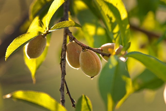 I have several varieties of peaches, so I expect to have ripe ones for some time starting in late June.