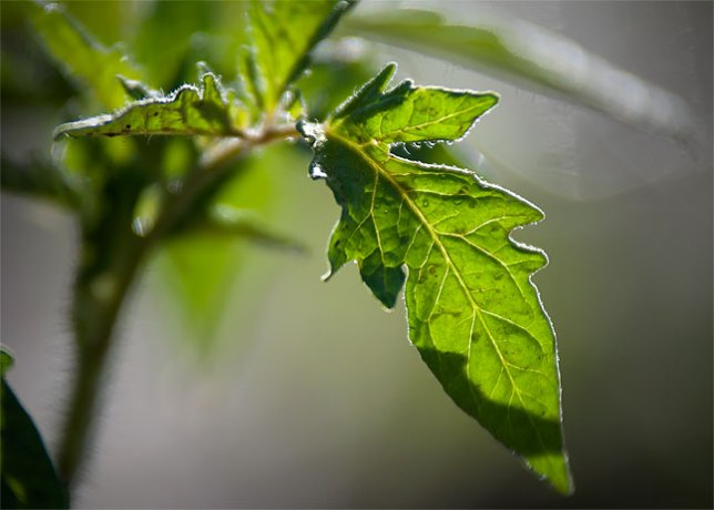 This tomato leaf soaks up warm spring sunshine in my garden after today's planting.