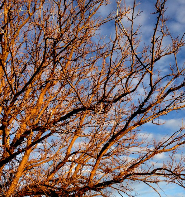 A tree captures deep amber light against a blue sky at sunset in Ryan, Oklahoma.
