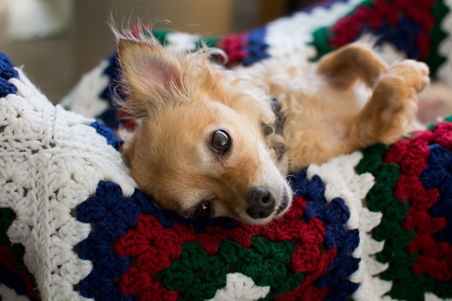 Sierra the Chihuahua eyes me from Abby's handmade afghan yesterday.