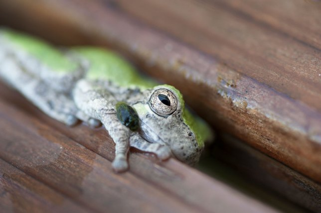 I had to dump the frog out of the rain gauge so it could measure upcoming rainfall, so the frog clung to a bench in the front yard for a while. Hopefully he made his way to the pond.