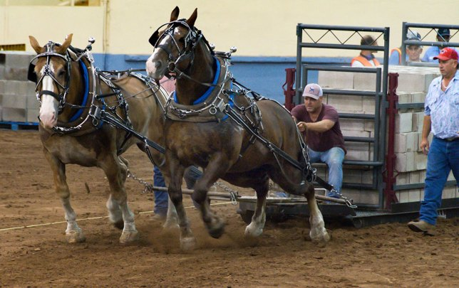 Draft horses pull a sled with more than 10,000 pounds of bricks on it. The competition was surprisingly engrossing.