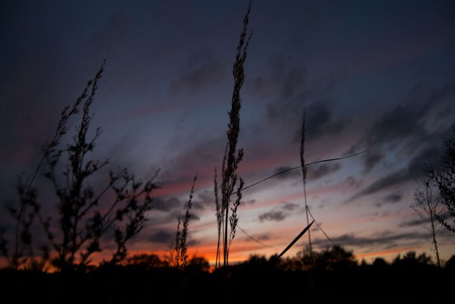Wheat grass in our pasture is silhouetted against the sky tonight.