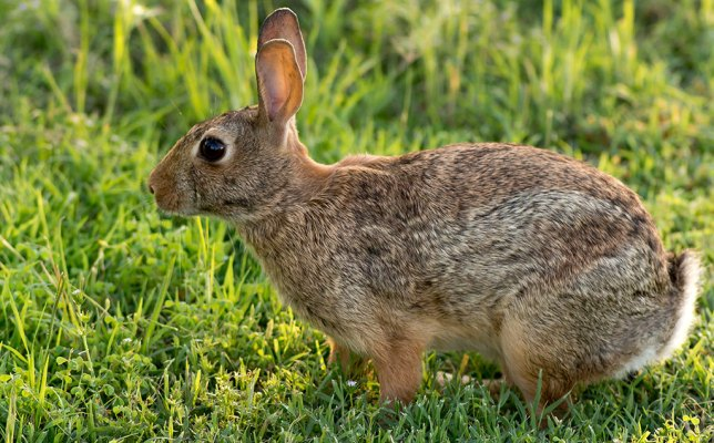 "Eastern cottontail says, ""If you thought Richard wasn't going to have a rabbit picture handy, you need to re-read the chapter."""